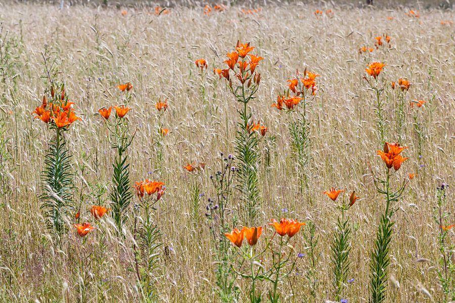 Roggelelie in akkerbloemen reservaat in Govelin, Wendland,Niedersachsen Duitsland