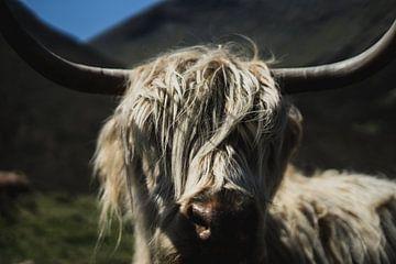 Portret van een Schotse Hooglander van Niels Eric Fotografie