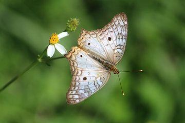 Schmetterling in Mexiko von Berg Photostore