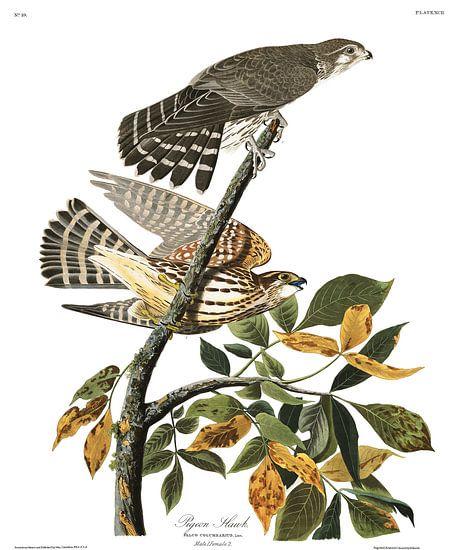Smelleken van Birds of America