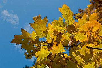 gelbes Herbstlaub mit blauem Himmel von W J Kok