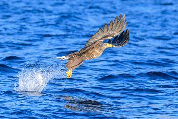 Pygargue à queue blanche ou aigle de mer (Haliaeetus albicilla) chassant dans un fjord sur Sjoerd van der Wal
