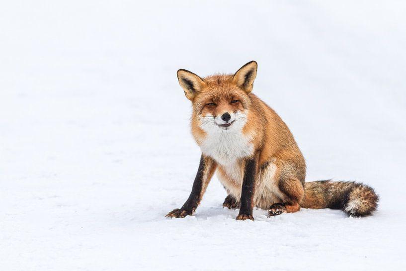 Vos in de sneeuw van Marcel Derweduwen