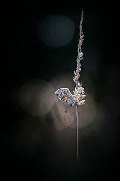 Vlindertje in het avondlicht (2) van Bob Daalder
