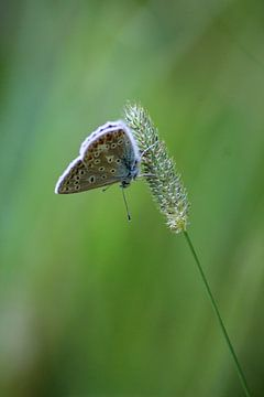 Icarusblauwtje van Shirley Douwstra