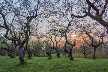Zonsopkomst in de boomgaard van Rossum-Fotografie