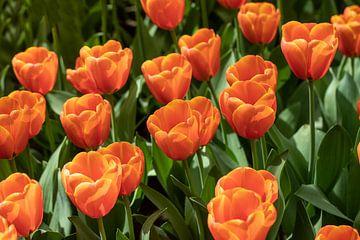 tulpen von Gert Slagmolen
