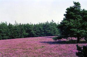 Breite Fuhre, Lüneburger Heide van