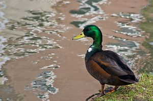 duck a la abstract
