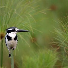 IJsvogel in een veld van papyrus von Roos Vogelzang