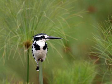 IJsvogel in een veld van papyrus van Roos Vogelzang