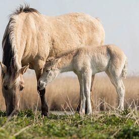 Paarden   Konikpaard merrie en veulen in het ochtendlicht van Servan Ott