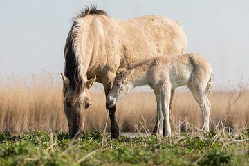 Paarden | Konikpaard merrie en veulen in het ochtendlicht van Servan Ott