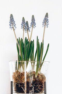 parel hyacinten van Michael Schulz-Dostal