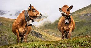 des vaches avec des cloches de vaches dans les montagnes
