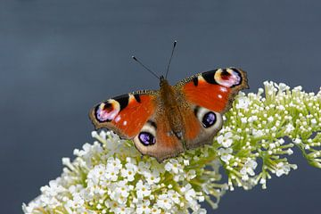 Dagpauwoog rustend op vlinderstruik sur Remco Van Daalen