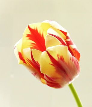 tulp flame 1 von Jonathan Kremer