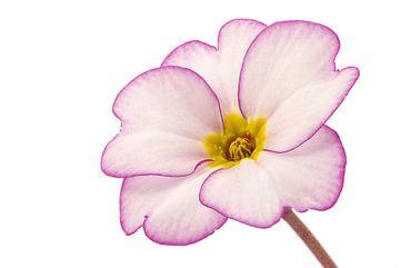 Sleutelbloem/Primulaceae van Tanja van Beuningen