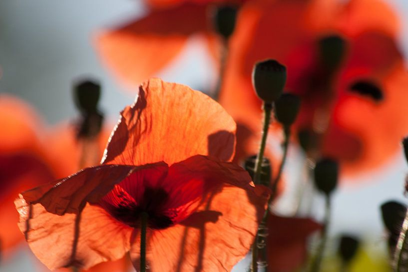 Poppies van Marco de Groot