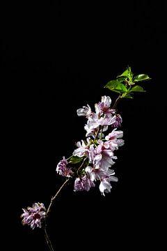 Blüte als Stillleben von Steven Dijkshoorn