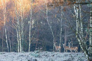 drie herten aan de rand van het bos van