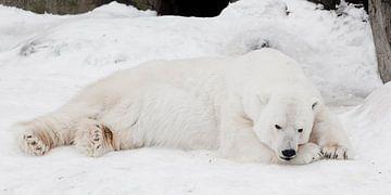 Ein weißer Eisbär in einer flauschigen, kristallweißen Haut, der auf dem Schnee liegt und schläft (r von Michael Semenov