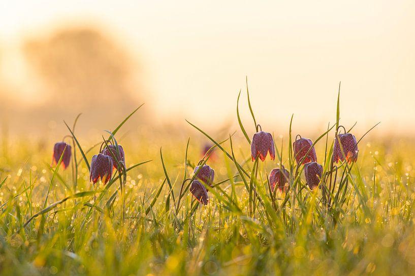 Kievitsbloemen  in een veld tijdens een prachtige lente zonsopkomst met dauwdruppels op het gras. van Sjoerd van der Wal