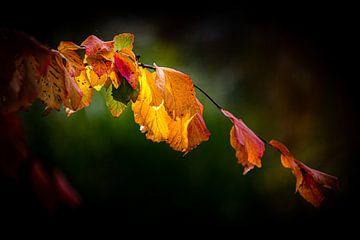 Bunte Blätter der Blutbuche im Gegenlicht im Herbst von Dieter Walther