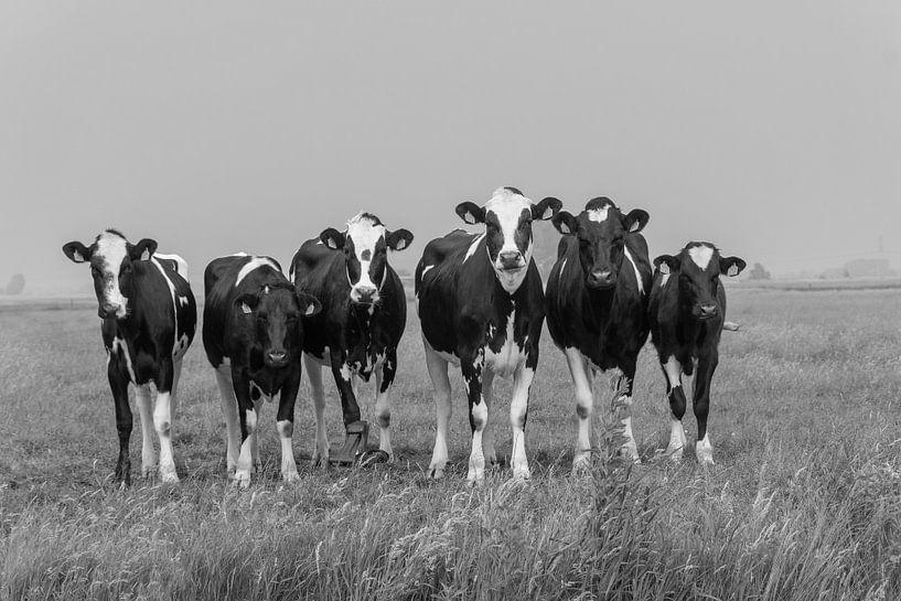 Jonge nieuwsgierige pinken koeien in de wei van Yvonne van Driel