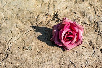 Deze roos vergaat niet van Amber de Jongh