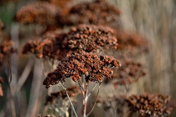 gedroogde bruine bloemen in het voorjaar van Lindy Schenk-Smit