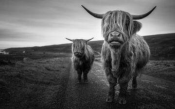 Schotse Hooglanders van Tim Kreike