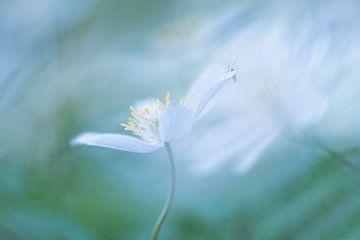 Anemone von Francis Dost