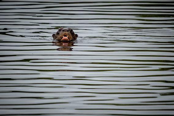 Otter Peru