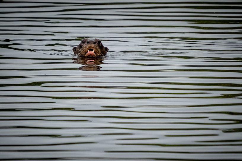 Otter Peru van Eerensfotografie Renate Eerens
