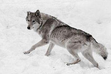 Loup adulte puissant et agile sur Michael Semenov