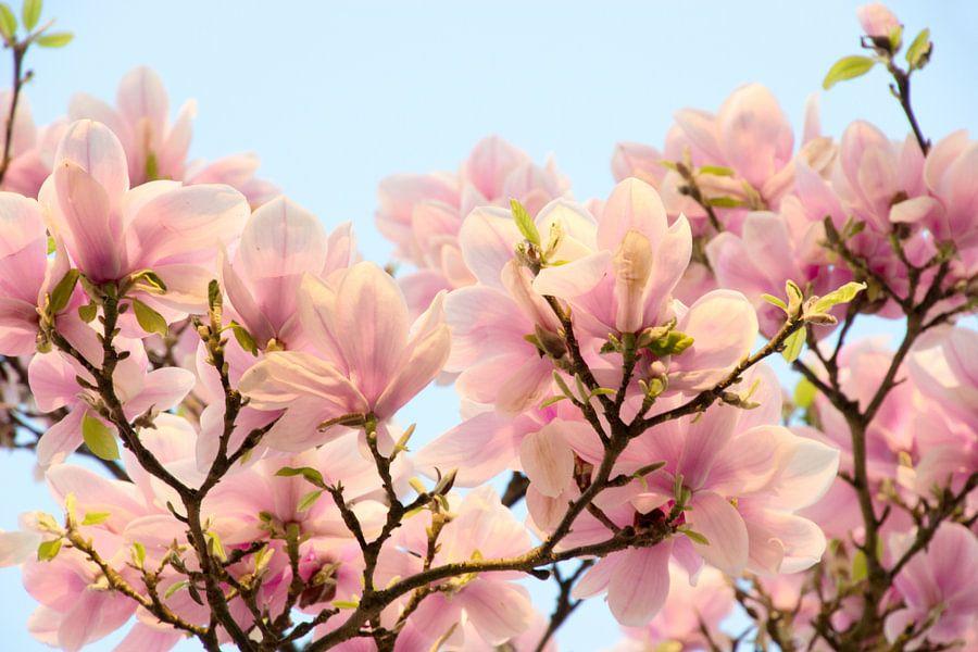 Roze bloemen van de Magnolia van Jessica Berendsen
