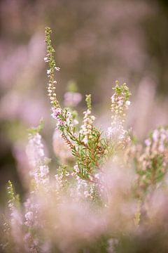 Blühende lila Heidekrautblüten auf der Veluwe. von Karijn Seldam