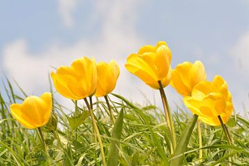 Tulpen im Gras blasen von Klaas Dozeman
