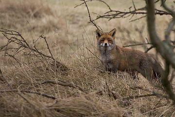 Red Fox sur