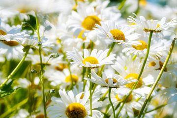 Gänseblümchen von MadebyGreet