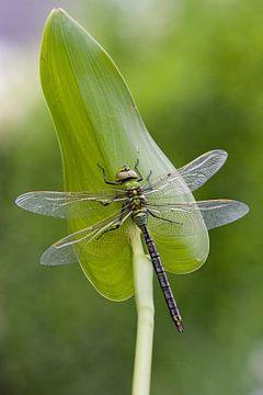 Libelle sur Maura Klumper
