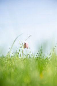 Kievitsbloem in het veld. deze bijzondere bloem oogt fraai in de zon. van Michel Knikker