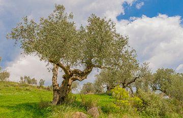 Olivenbaum von René Roos