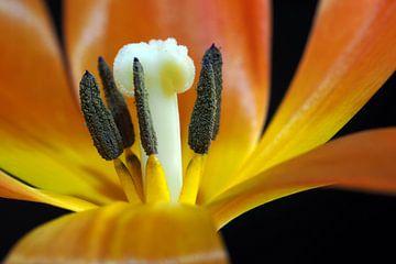 Kern van een oranje tulp