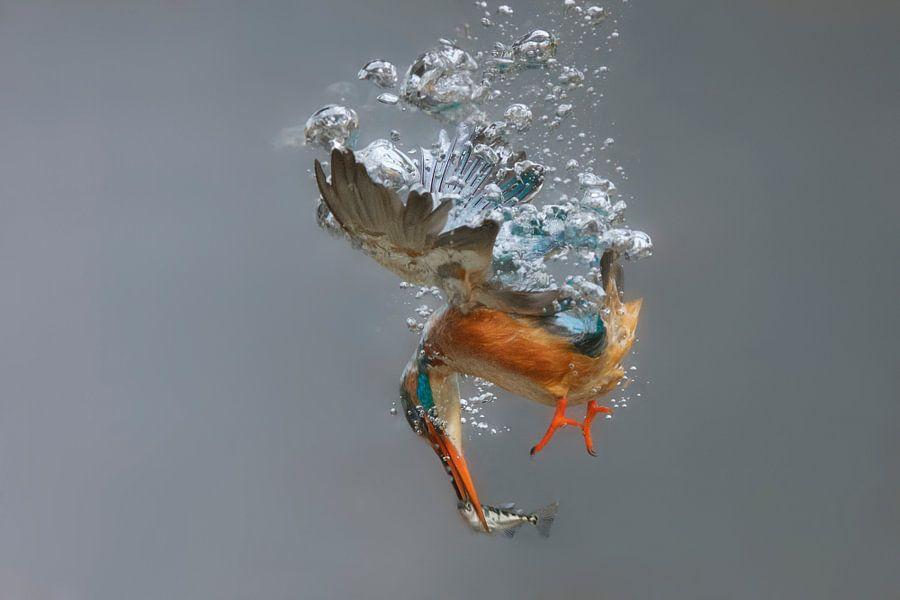 IJsvogel - National Geographic winner 2016!! Vrouwtjes ijsvogel in actie, duikend onder water van Dirk-Jan Steehouwer
