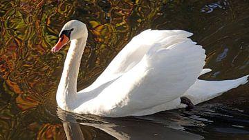 Witte zwaan in de herfst in Nederland van