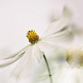 Witte bloem Cosmea van Ellen Driesse