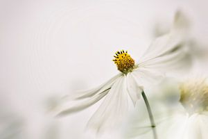 Witte bloem Cosmea van