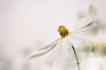 Weißen Blume Cosmea von Ellen Driesse